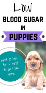 Low Blood Sugar In Puppies #bloodsugar #puppies